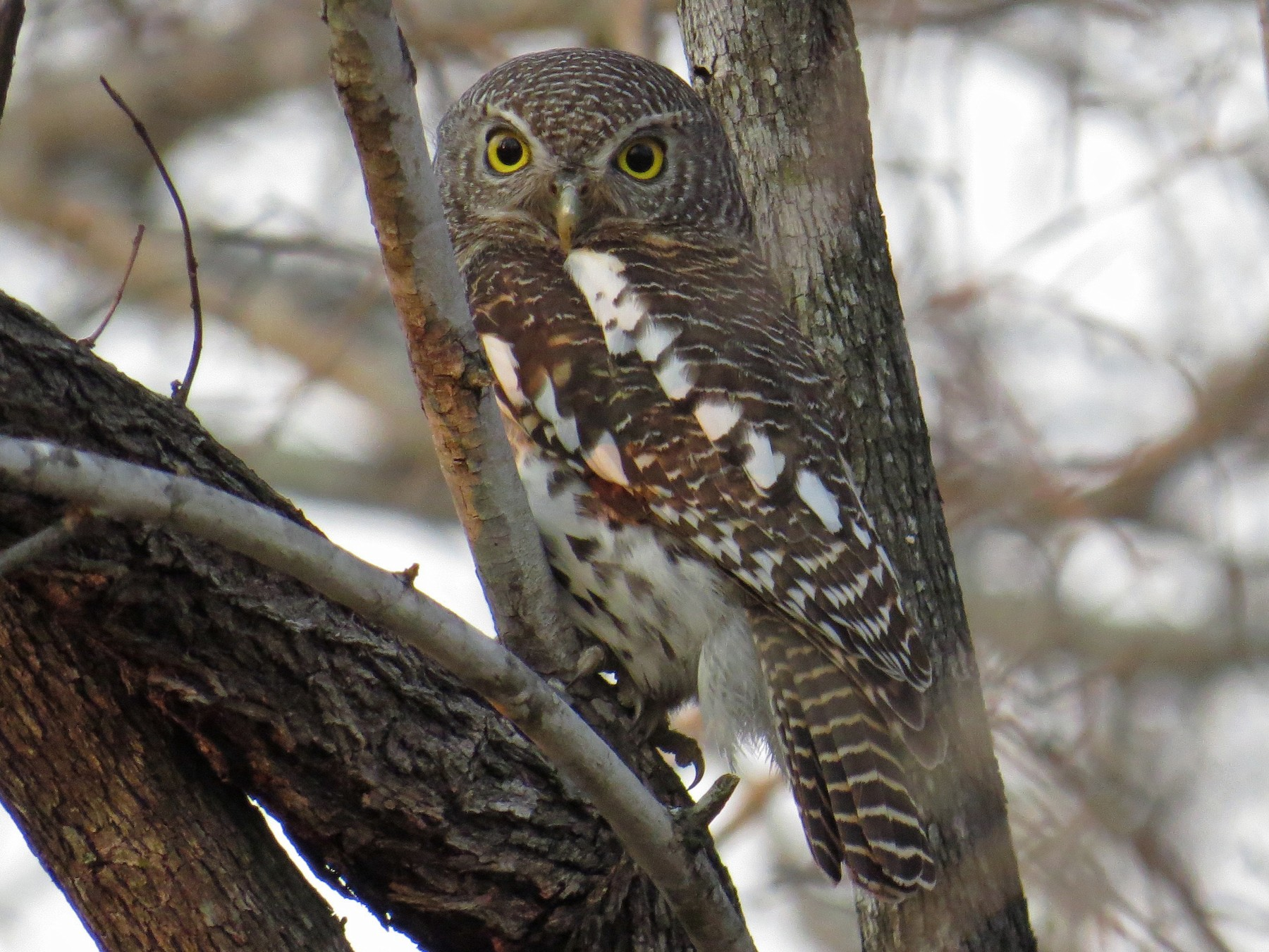 African Barred Owlet - Stuart Malcolm