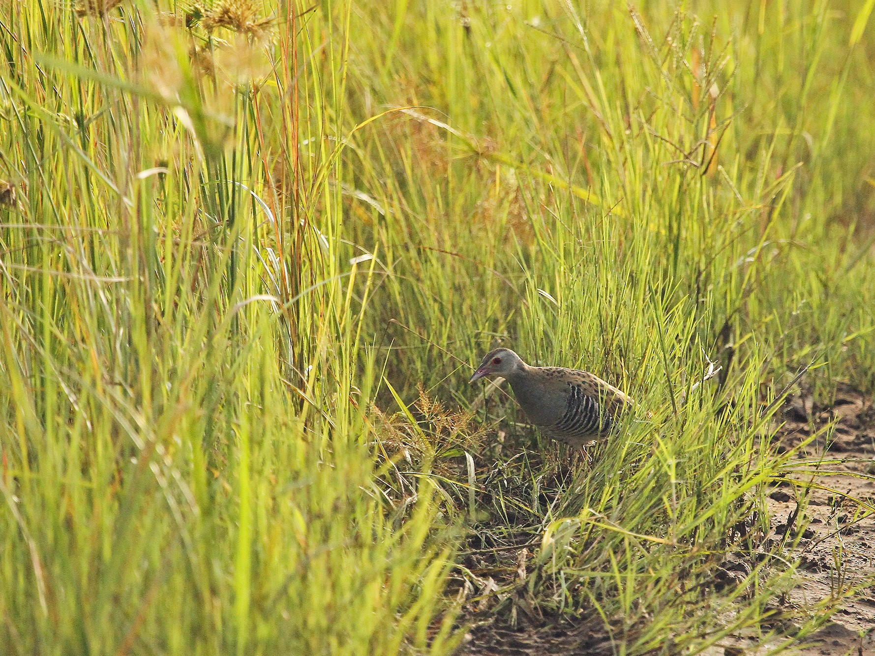 African Crake - Daryl Dell