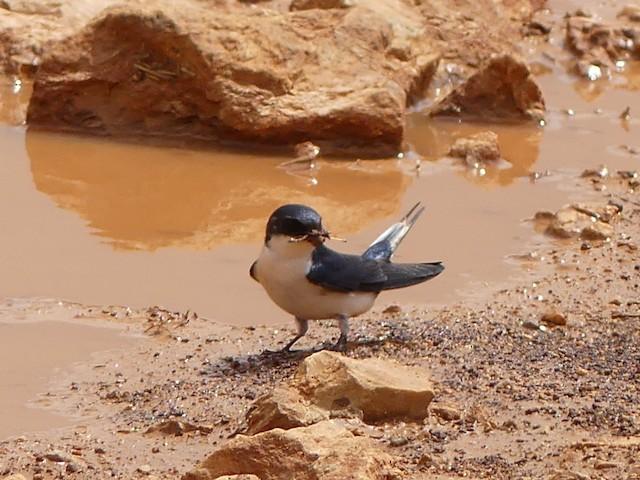 White-tailed Swallow
