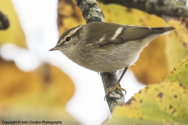 ©John  Gordon - Yellow-browed Warbler
