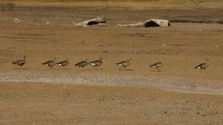 Greater White-fronted Goose, ML183575741