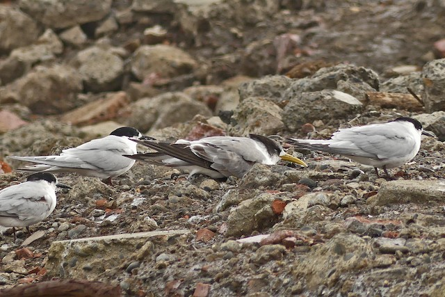 Great Crested Tern