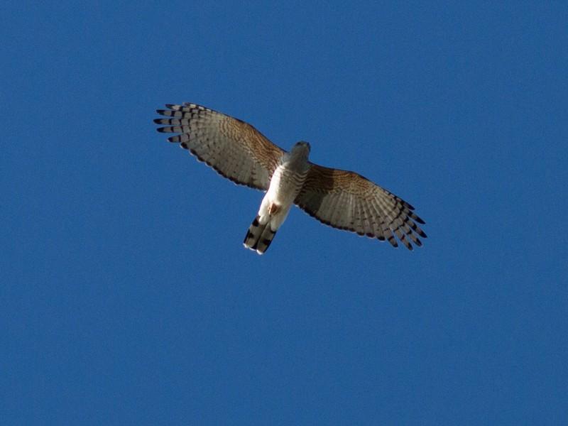 African Cuckoo-Hawk - Josh Engel