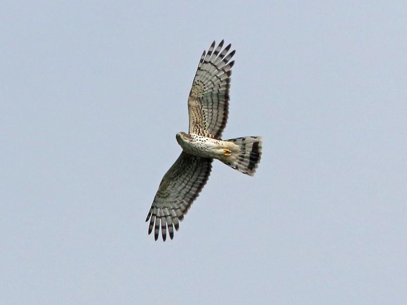 African Cuckoo-Hawk - Nigel Voaden