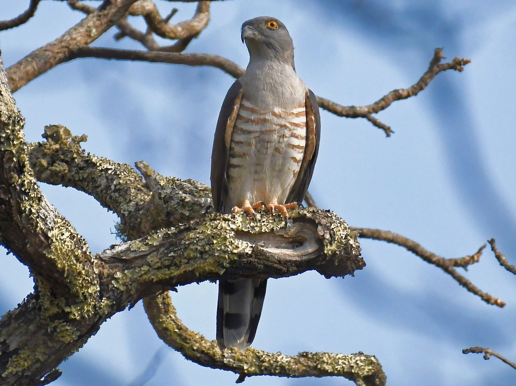 African Cuckoo-Hawk - Theresa Bucher