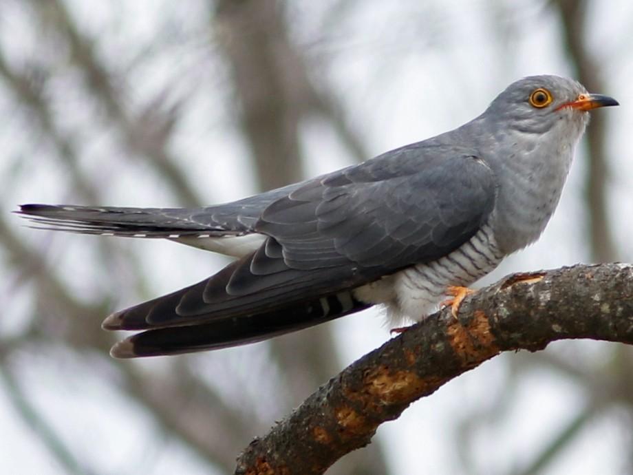 African Cuckoo - Neil Paprocki