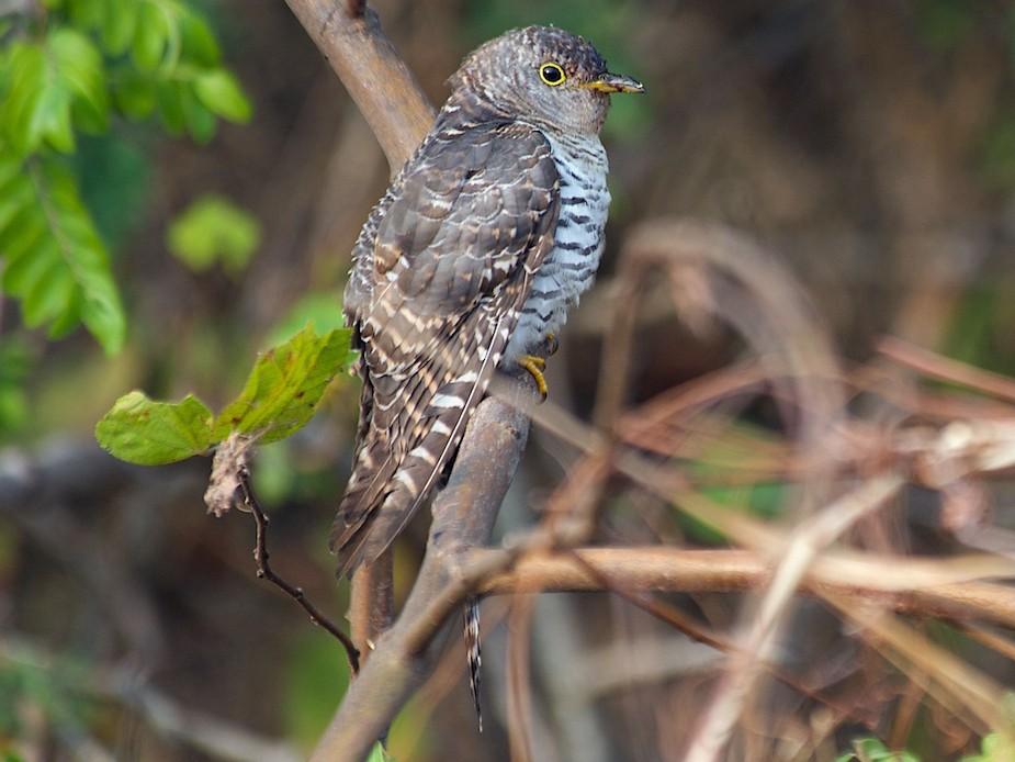 African Cuckoo - John C. Mittermeier