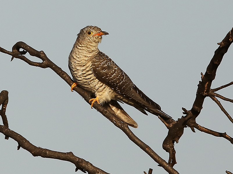 African Cuckoo - Daryl Dell