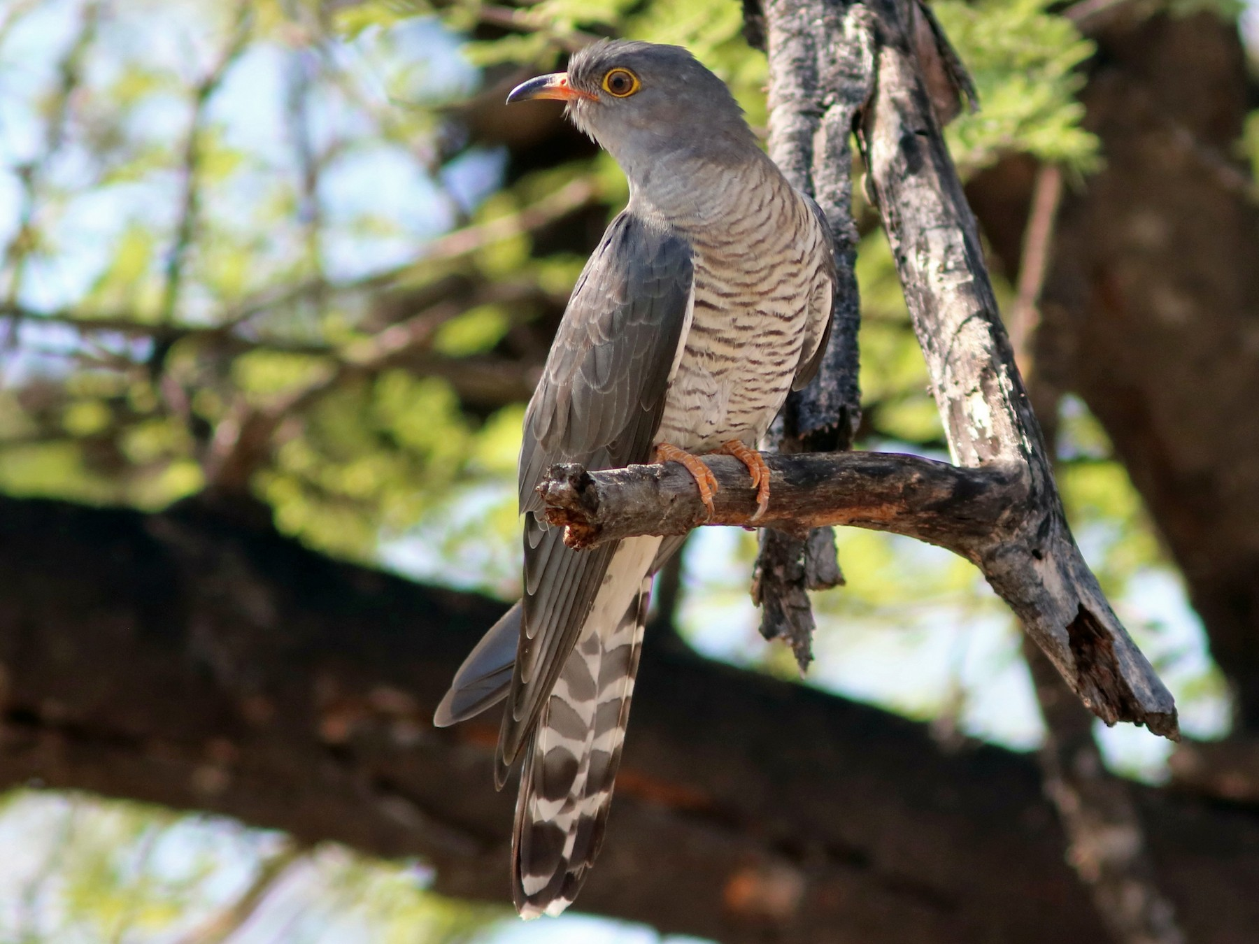 African Cuckoo - John Drummond