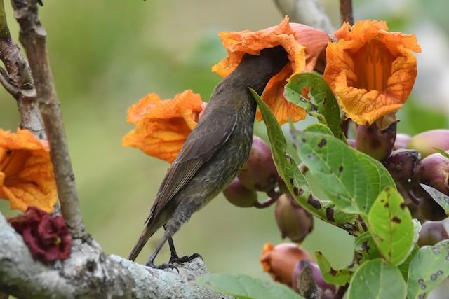 Scarlet-chested Sunbird ML183677411