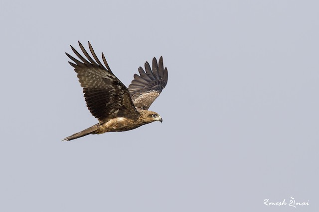 ©Ramesh Shenai - Black Kite