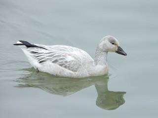 Snow Goose, ML184105561