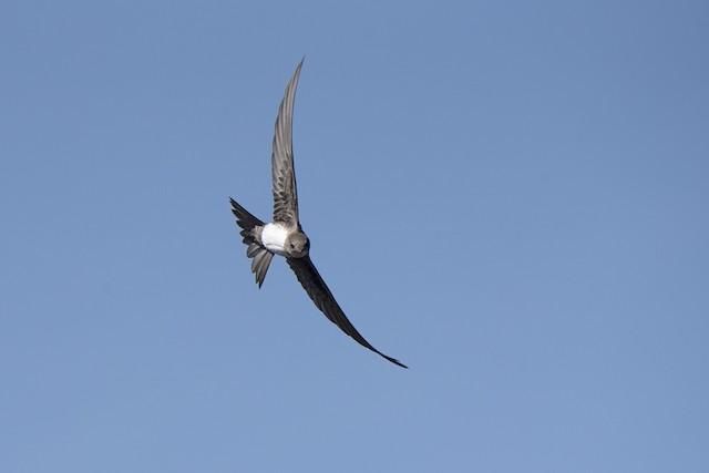 ©Eduardo Realinho - Alpine Swift