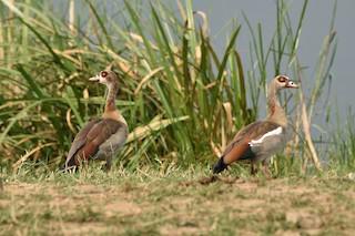 Egyptian Goose, ML184145671