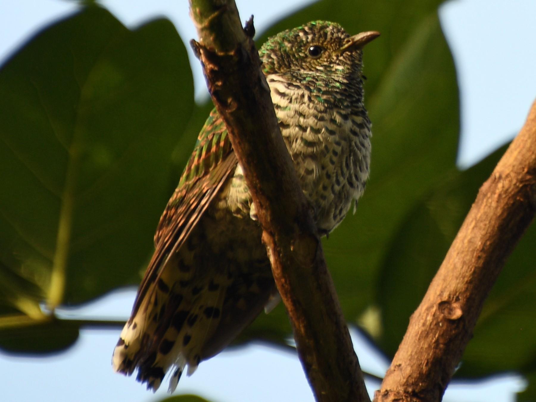 African Emerald Cuckoo - Denise Van Peursem