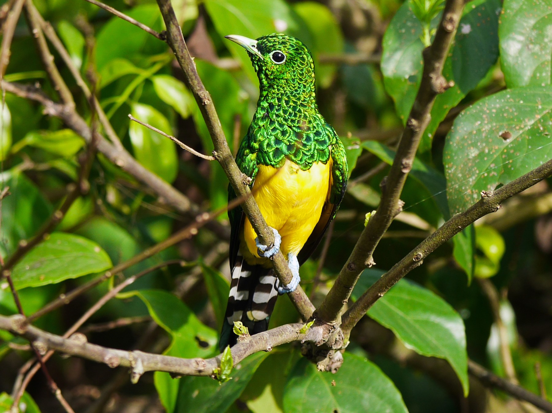 African Emerald Cuckoo - Randall Siebert