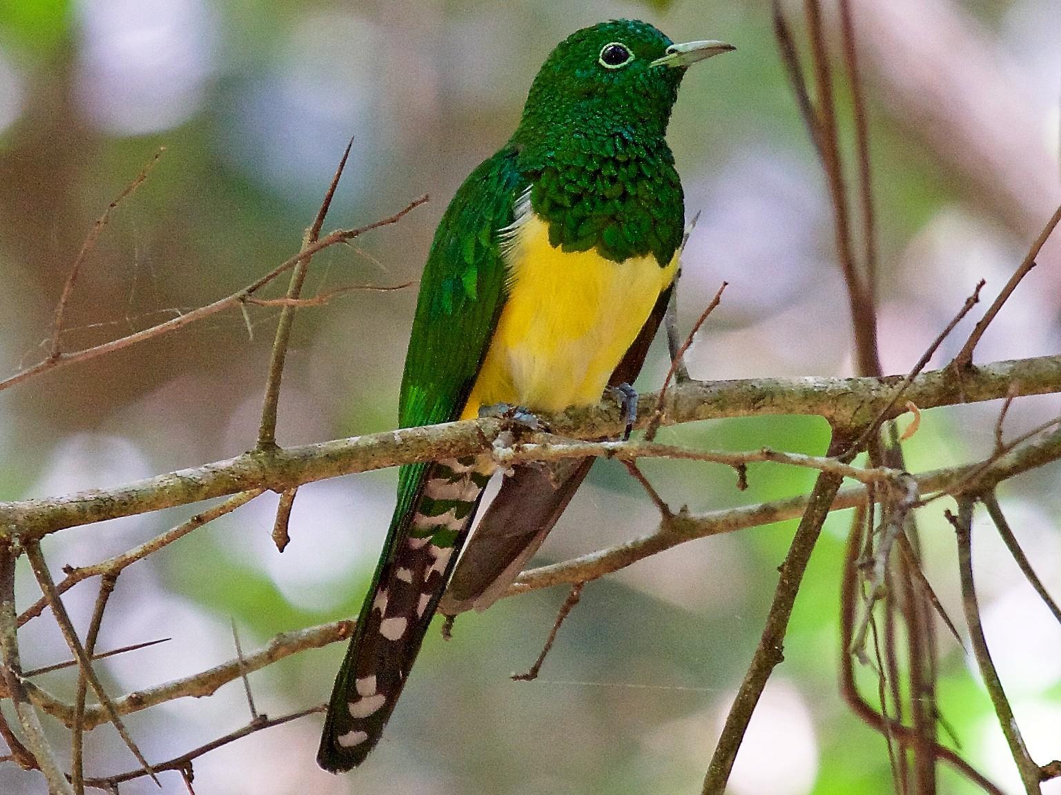African Emerald Cuckoo - Matt Brady