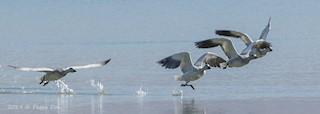 Snow Goose, ML184224371