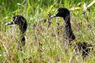 Muscovy Duck, ML184350171
