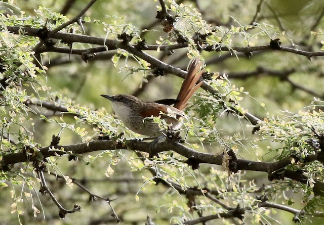 Necklaced Spinetail (Chinchipe)