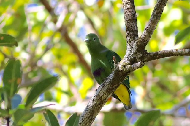 Dwarf Fruit-Dove