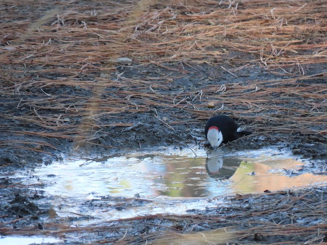 White-headed Woodpecker drinking from puddle.