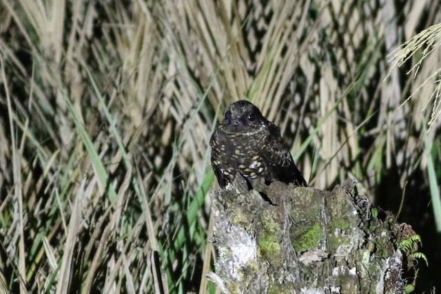 Archbold's Nightjar