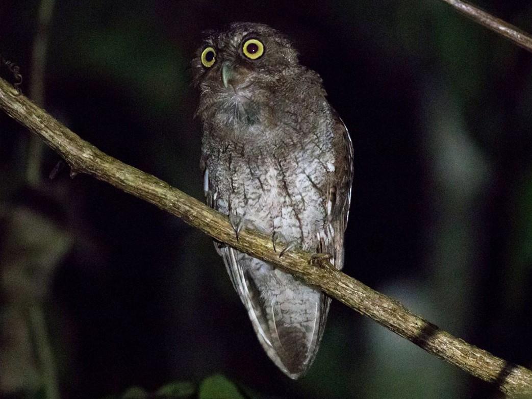 Foothill Screech-Owl - Rick Bateman