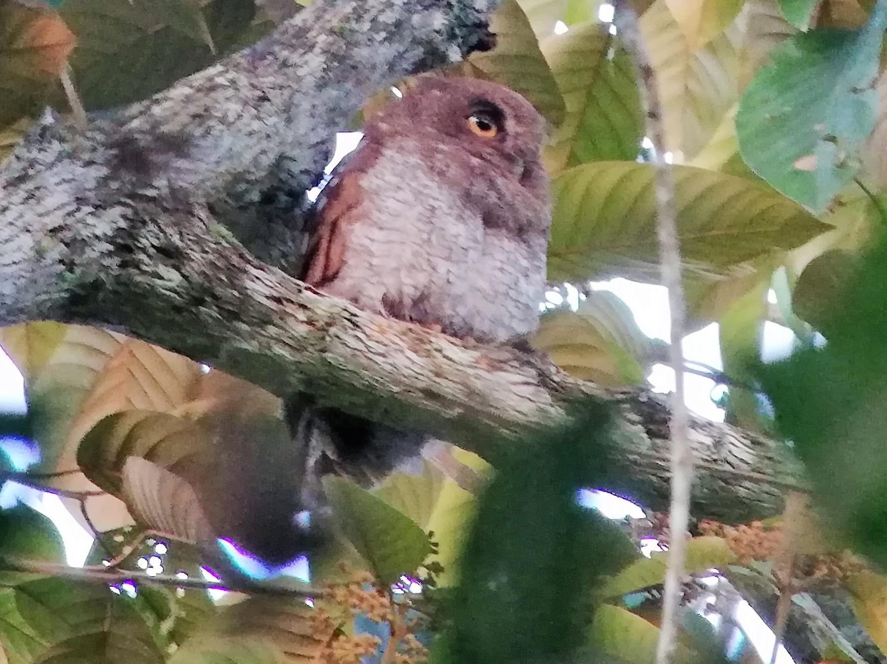 Foothill Screech-Owl - Euclides