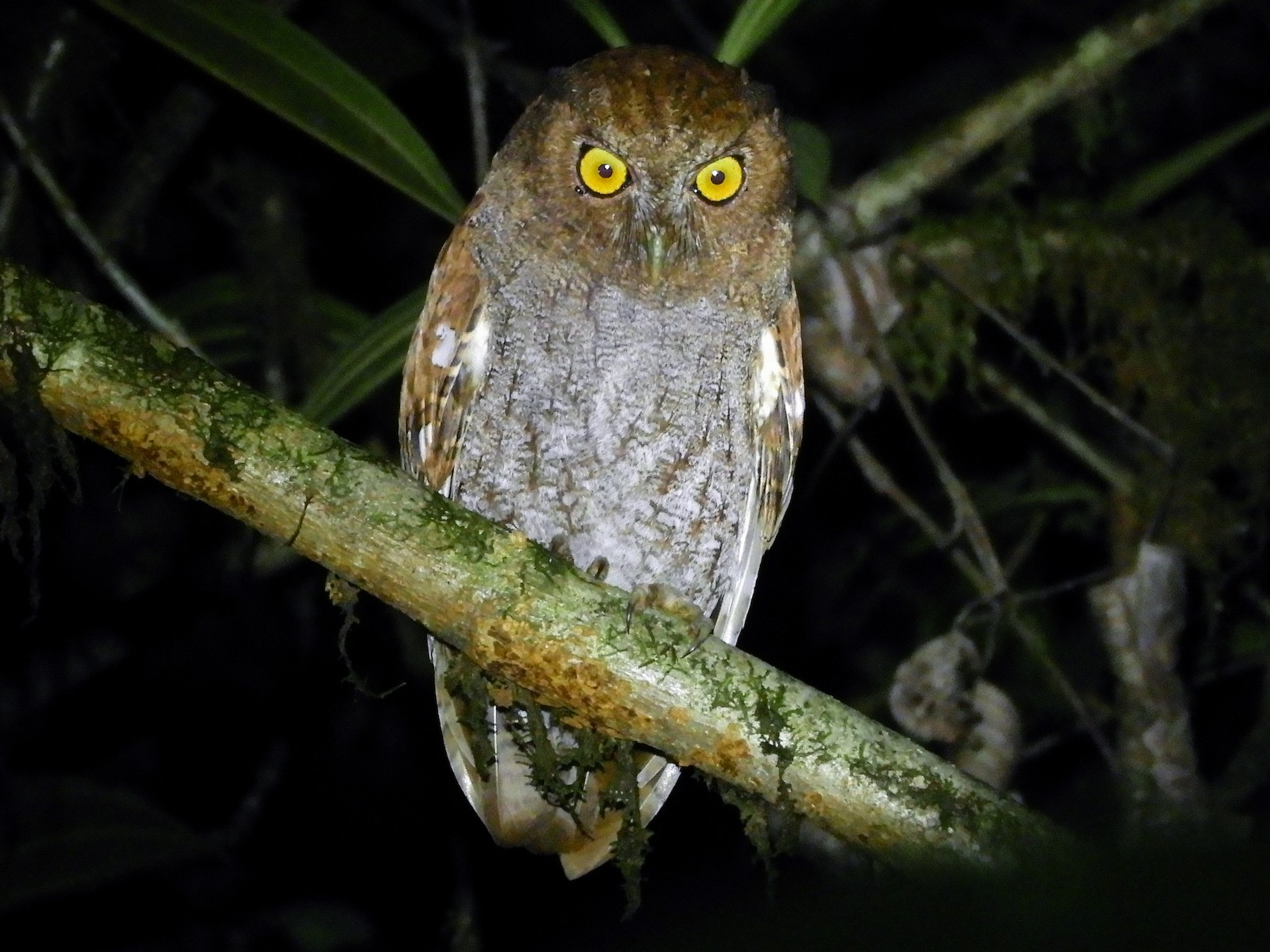 Foothill Screech-Owl - Jorge Muñoz García   CAQUETA BIRDING