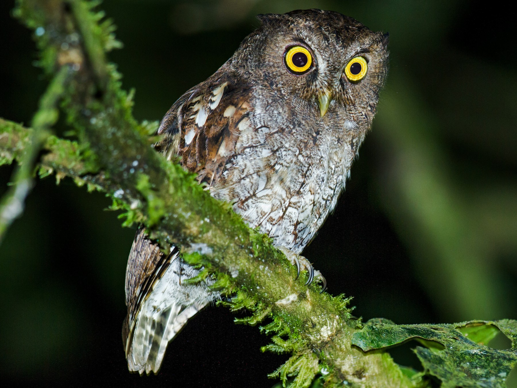 Foothill Screech-Owl - Nick Athanas