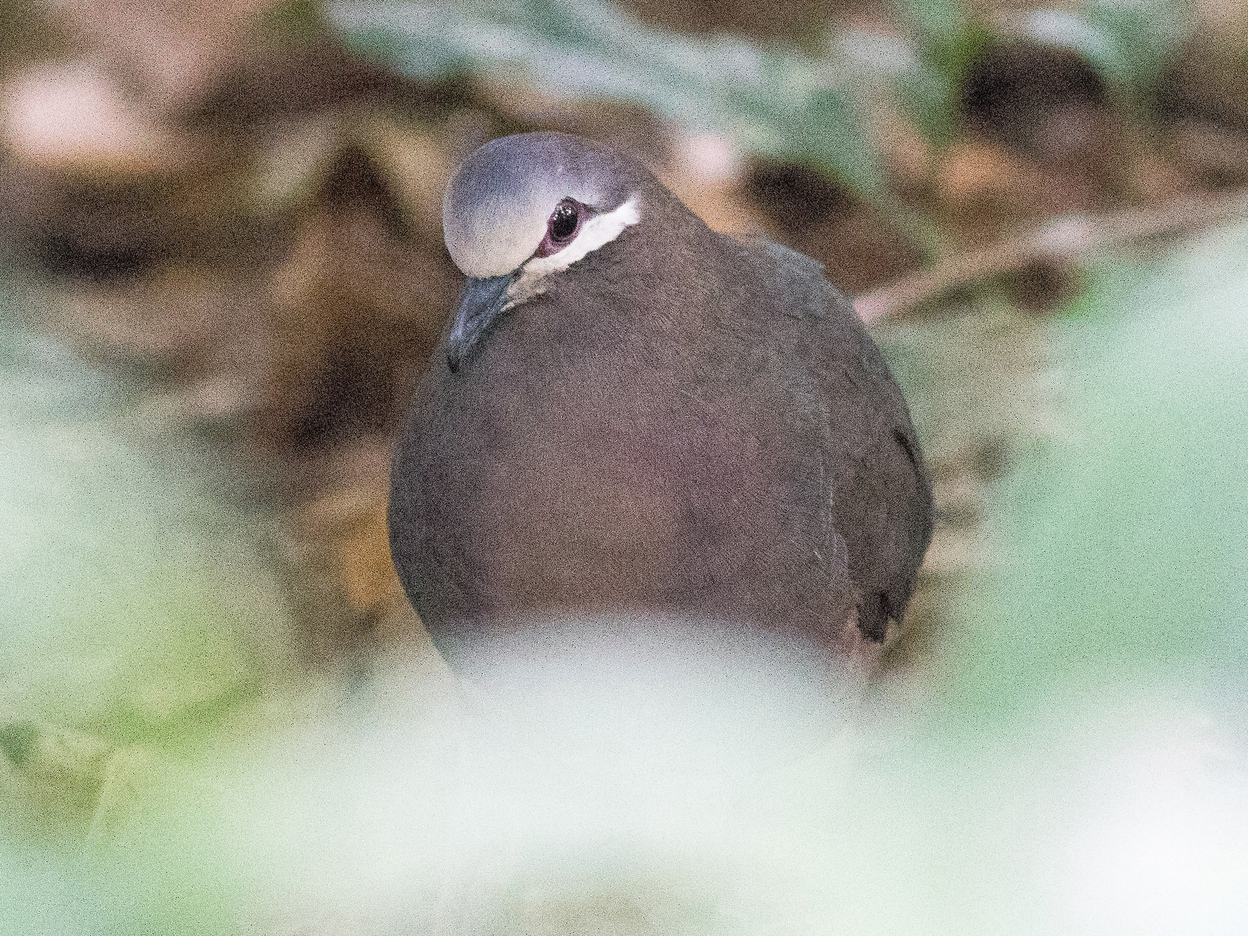 Olive-backed Quail-Dove - matthew sabatine