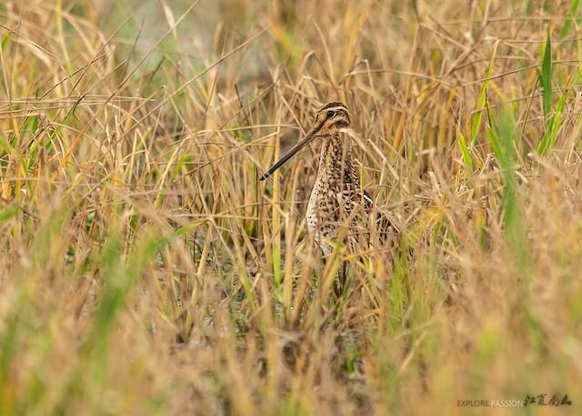 Pin-tailed Snipe