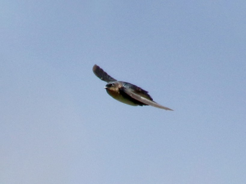 Pale-footed Swallow - Jay McGowan