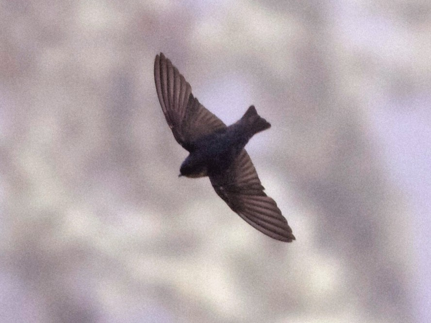Pale-footed Swallow - Alex Wiebe