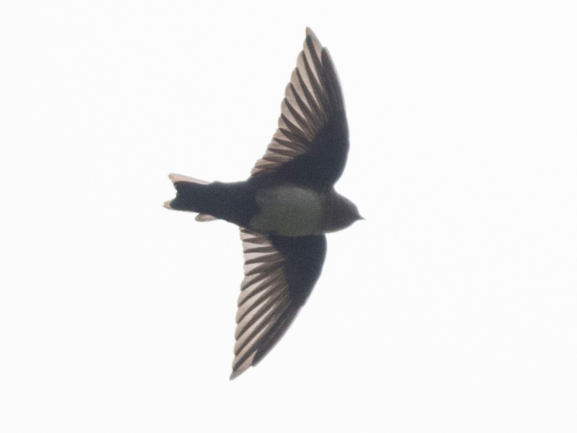 Pale-footed Swallow - John Cahill xikanel.com