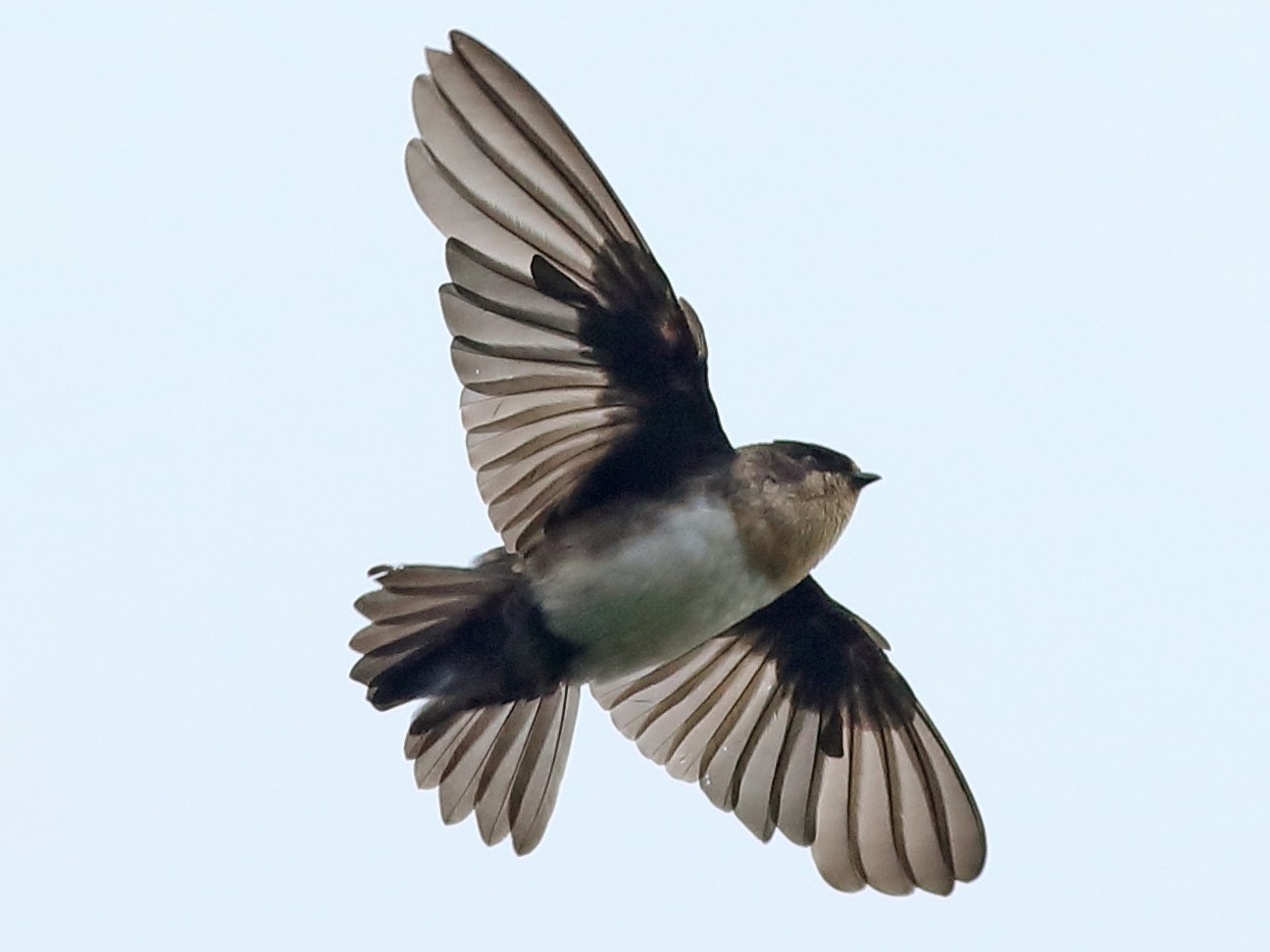 Pale-footed Swallow - Graham Montgomery