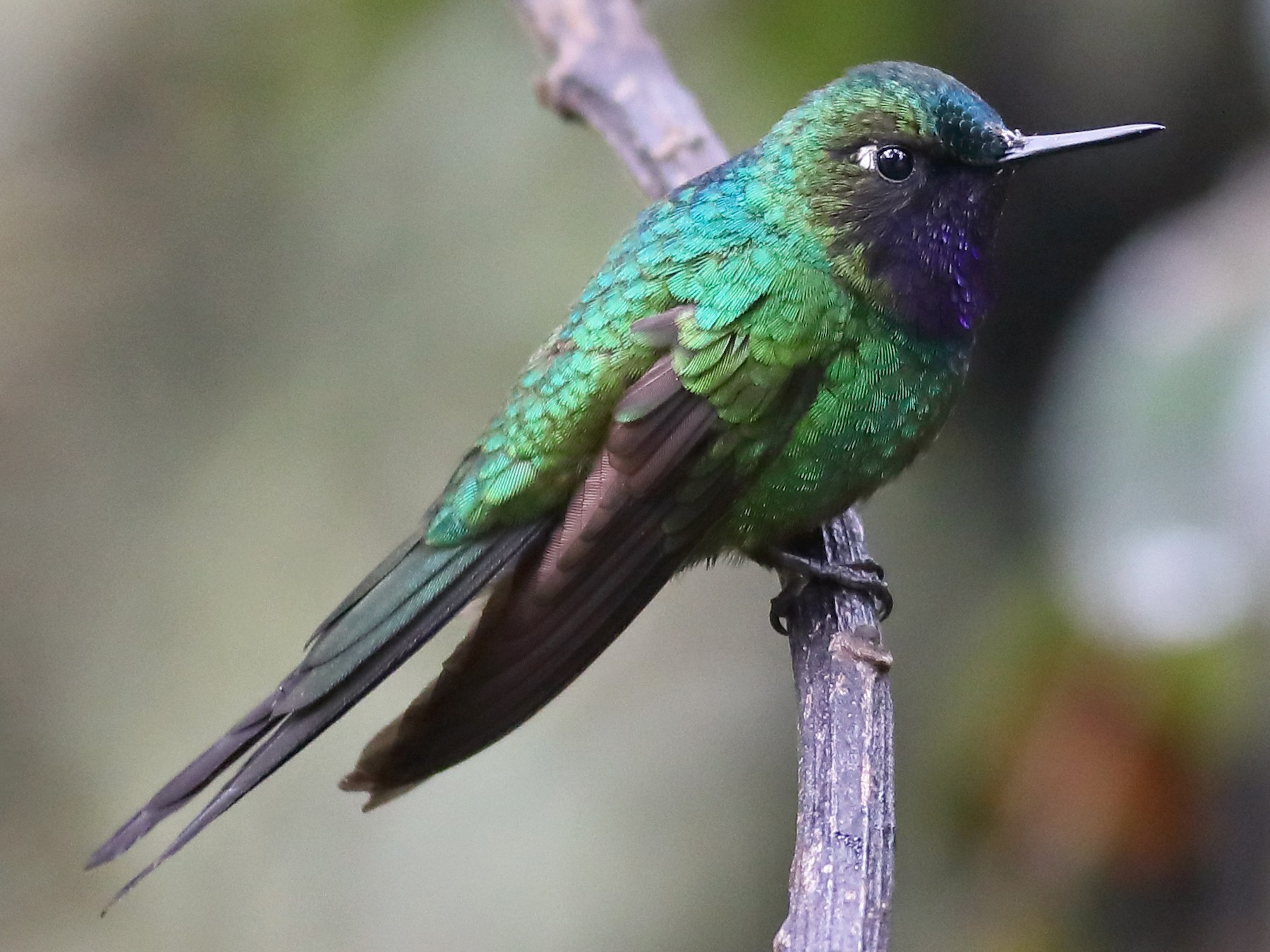 Purple-throated Sunangel - Graham Montgomery