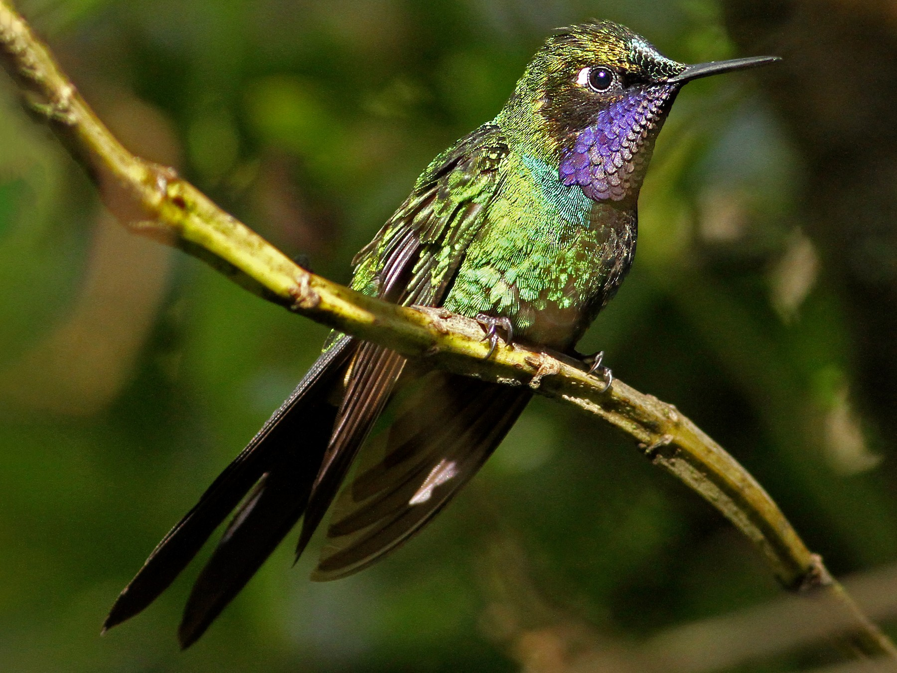 Purple-throated Sunangel - Luke Seitz