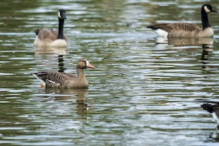 Greater White-fronted Goose, ML184736971