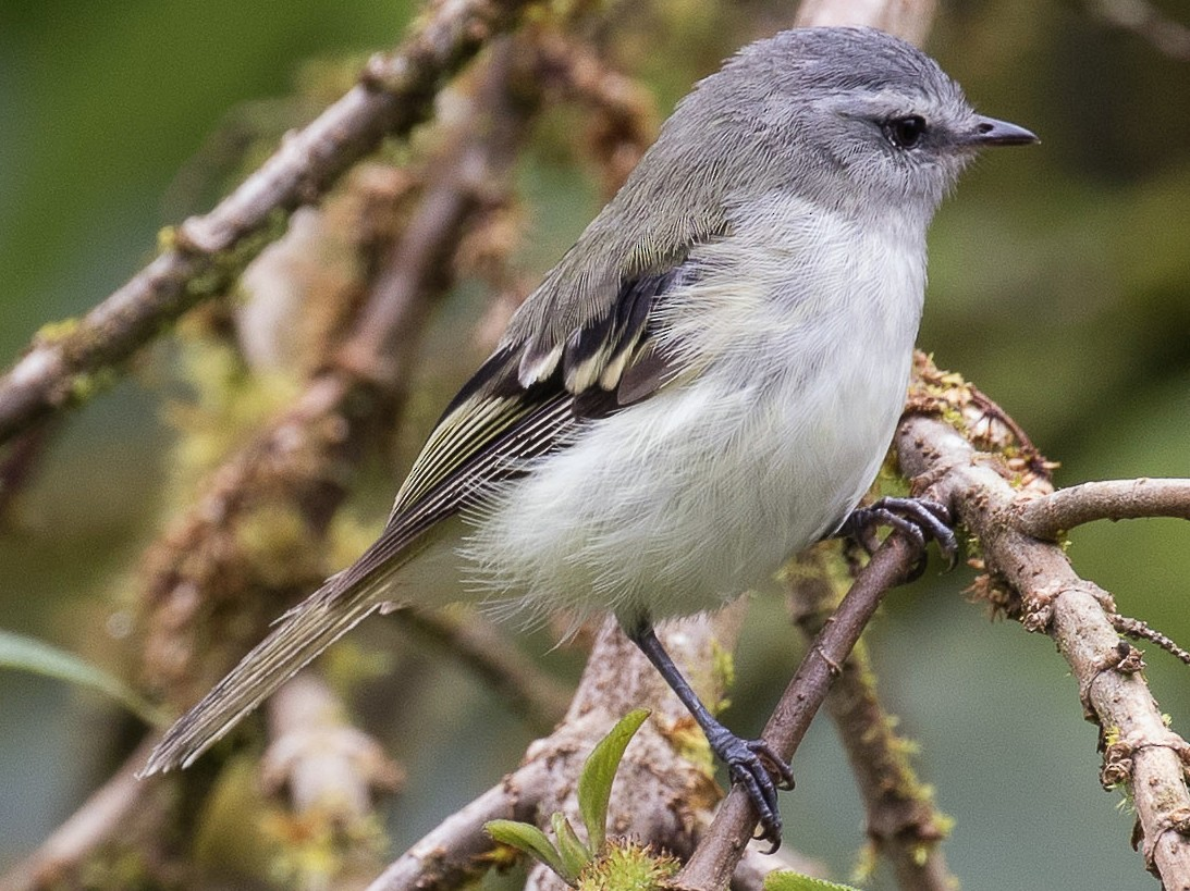 White-tailed Tyrannulet - Wayne Sladek