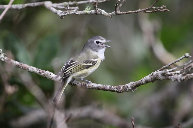 Plumbeous Vireo (Central American)