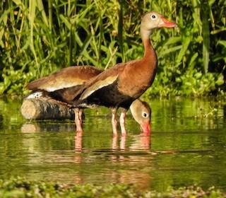 Black-bellied Whistling-Duck, ML184783481
