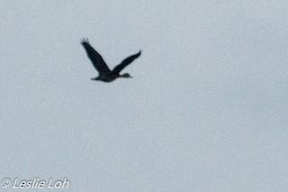 Lesser Whistling-Duck, ML184886471