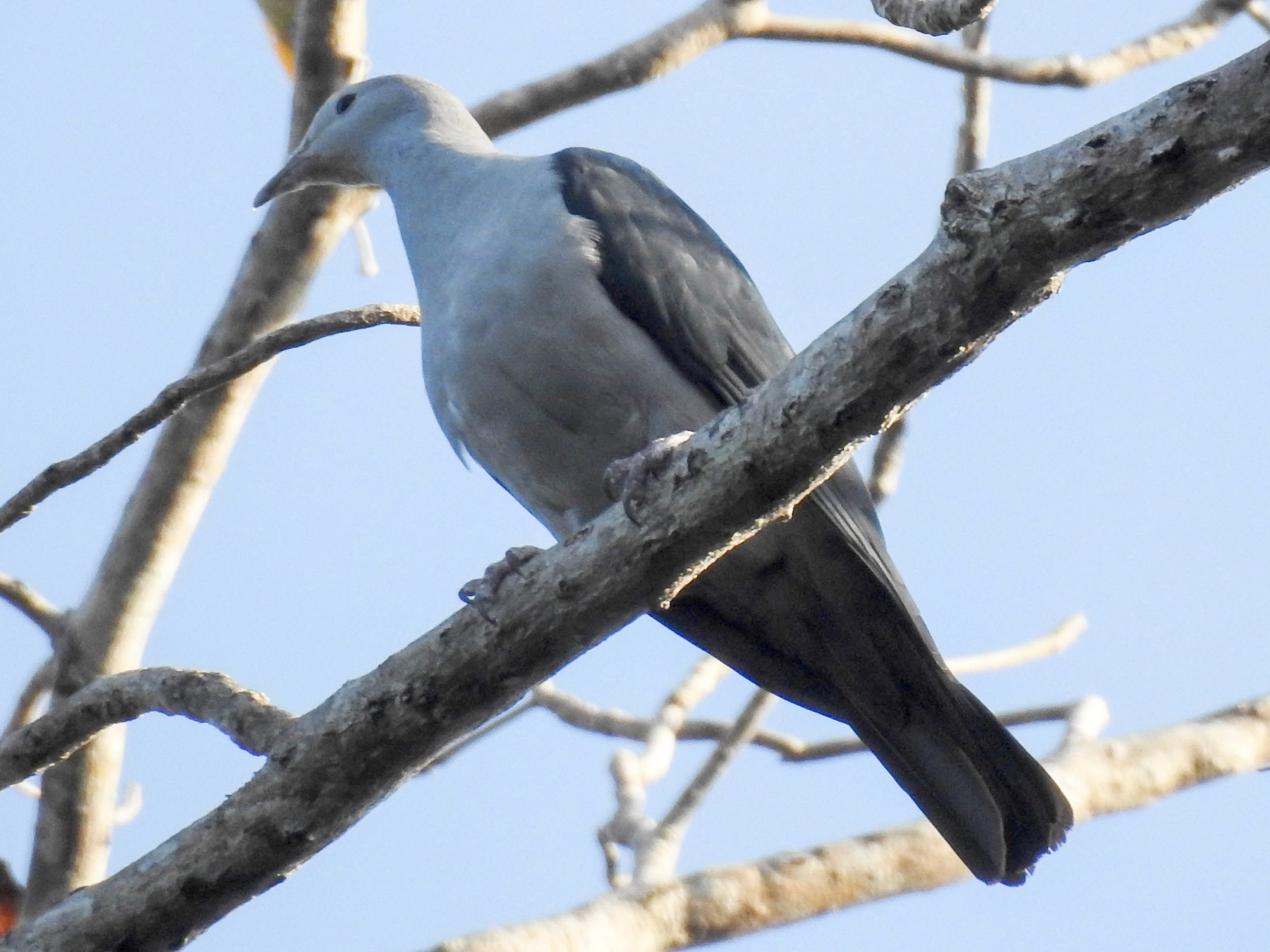 Nicobar Imperial-Pigeon - Sahana M