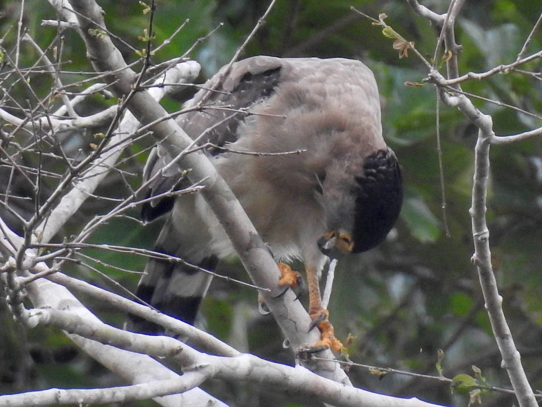 Nicobar Serpent-Eagle - Sahana M