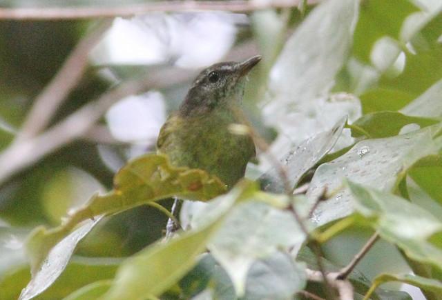 Island Leaf Warbler (Peleng)