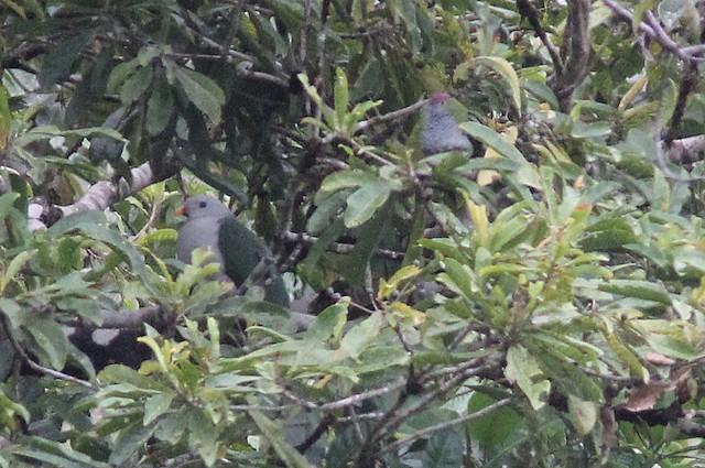 Banggai Fruit-Dove
