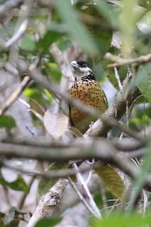 - Ochre-breasted Catbird
