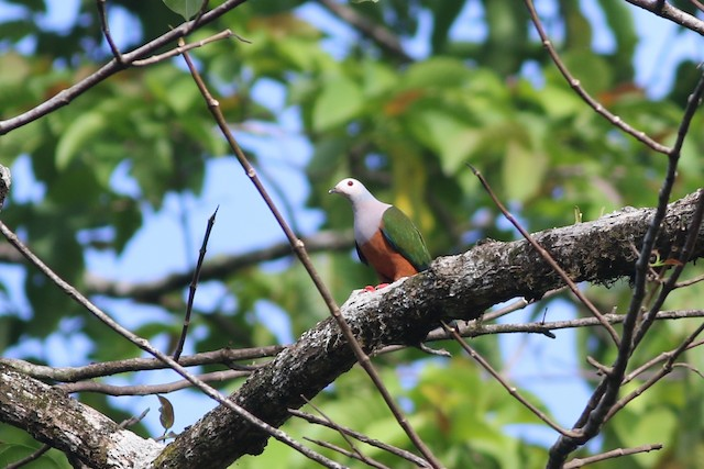 Finsch's Imperial-Pigeon
